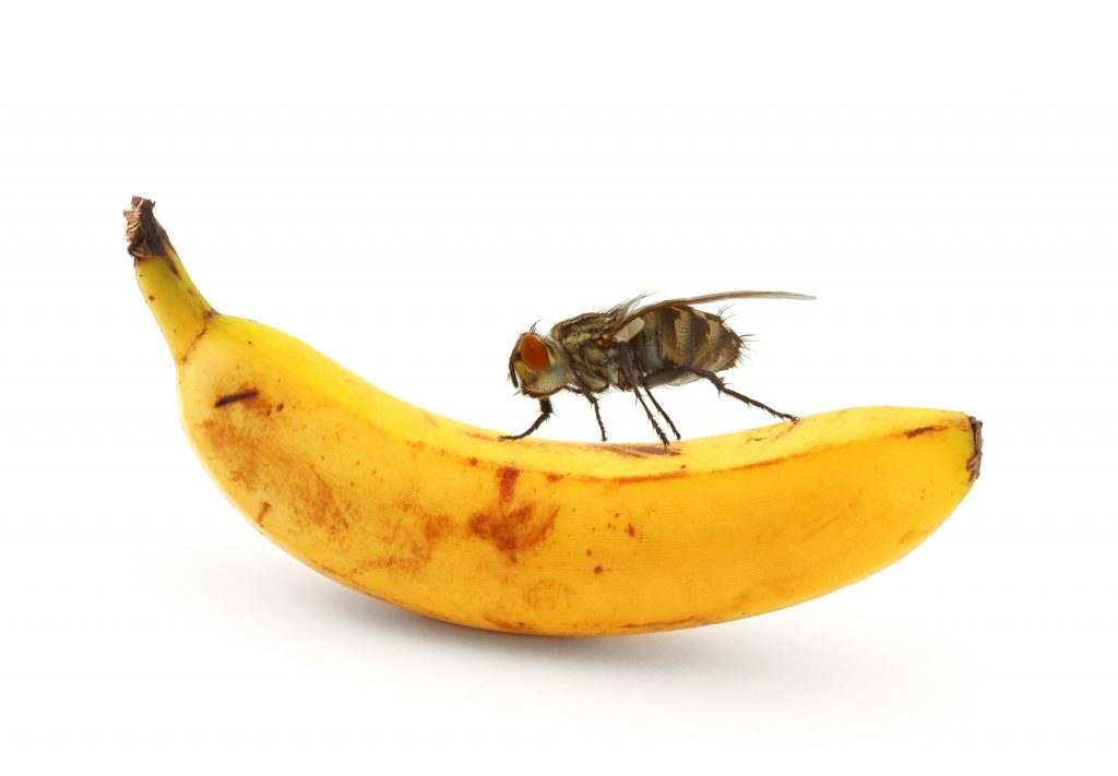 ذبابة دروسوفيلا يمكن ملاحظتها دائما فوق الفاكهة بالخصوص الموز
