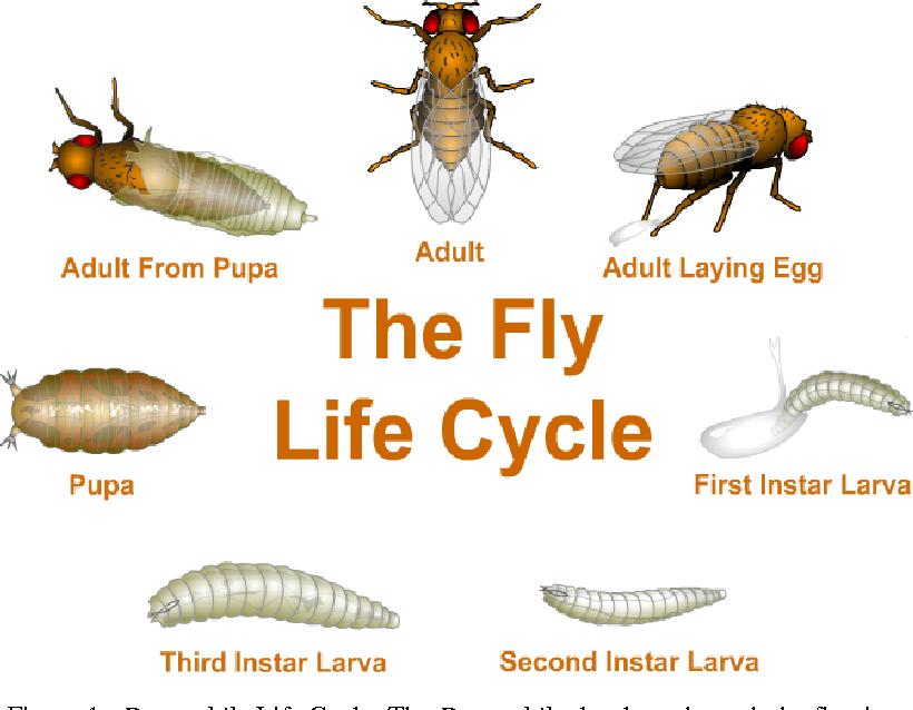 دورة حياة ذبابة دروسوفيلا قصيرة جدا
